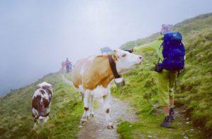 vaches laitière suisse