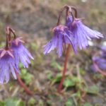 soldanelles, fleur des Alpes