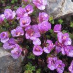 saxifrage à feuilles opposées, découverte fleurs des Alpes