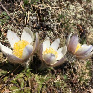 Pulsatilles printanières, découverte de la flore des Alpes