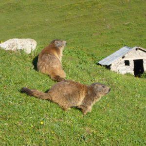 marmottes en montagne